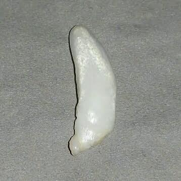 11.5 ct  Elongated Clam Pearl - high chatoyance