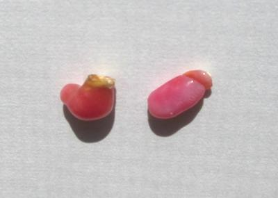 2 Pink Conch Pearls