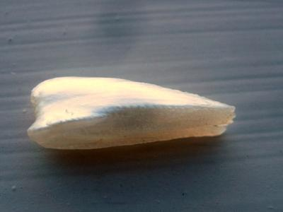 20mm Natural Freshwater Spike Pearl USA