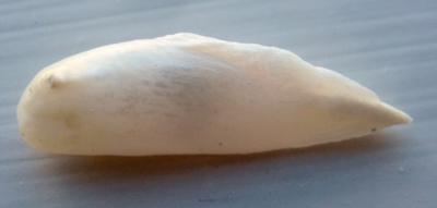 28mm USA Natural Wing Pearl