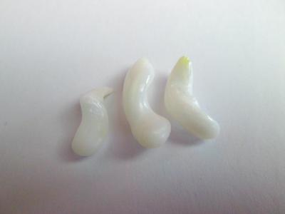 3 Clam Pearls Curly Drop Shape 14+ carats Total 18+mm