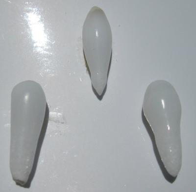 3 Drop Shaped Clam Pearls 18-12mm for Sale