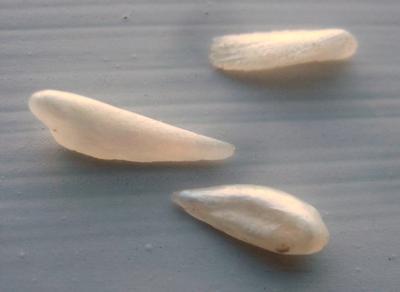 3 Natural Wing Pearls USA