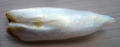 36mm USA Natural Wing Pearl