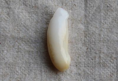 6.5 ct  Clam Pearl