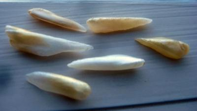 6 Natural Spike Pearls from USA