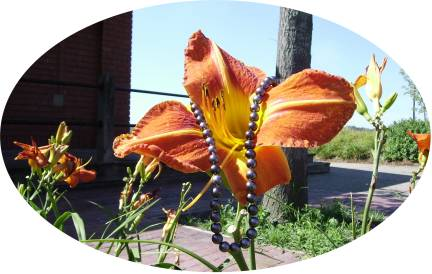 daylily with black pearls