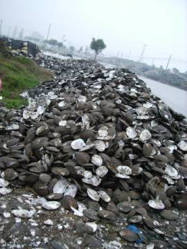 PEARL-HARVESTING-SHELLS-ALONG-ROAD