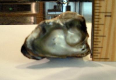 Abalone pearl 118 carats