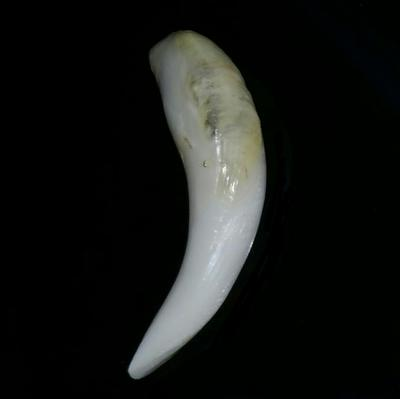 Baroque Clam Pearl 38+ ct Elongated Baroque