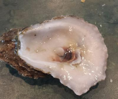 Beautiful pearl found in Louisiana Oyster!