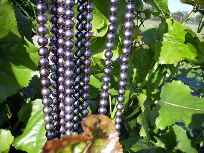 Black pearls on popular leaves