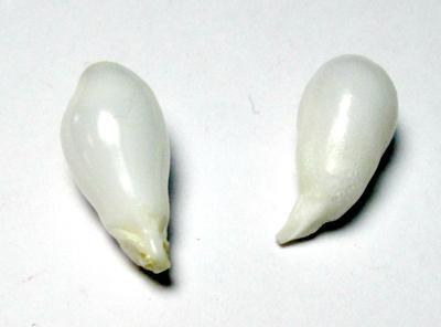 Clam Pearl Drop Pair 18+mm 16+ carats