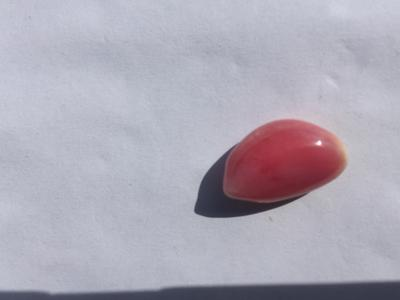 Conch Pearl 13 carats 17mm Pink & White