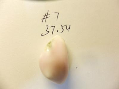 37.54ct conch pearl