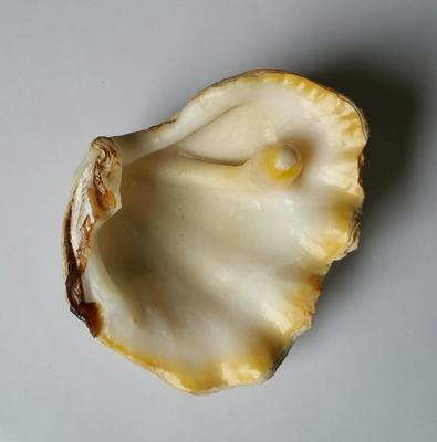 Elongated Blister Pearl of Tridacna Clam +/- 70 mm
