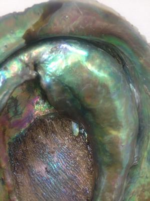 Enormous Natural Abalone Pearls from New Zealand