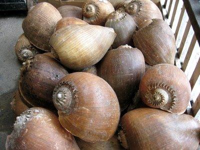 Giant Snail Shells (photo by Kari)