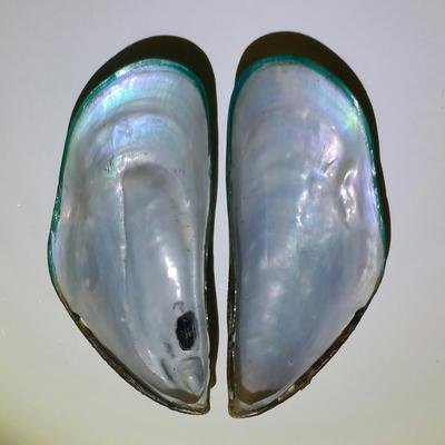 Green Mussel Blister