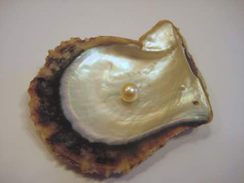 Gulf Pearl on Pinctada Radiata Oyster