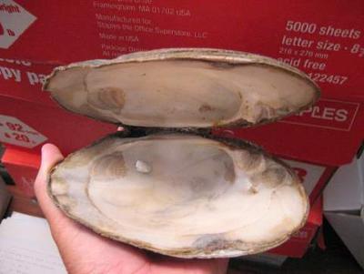 Freshwater Blister Pearl