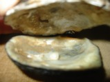 Oyster Blister Pearl?