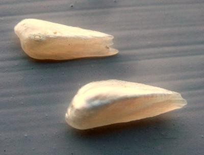 Pair of Natural Wing Pearls from USA