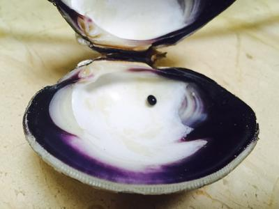 Quahog Purple Pearl