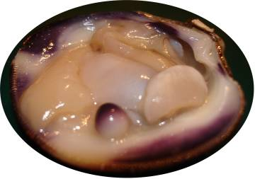 Quahog pearl in clam