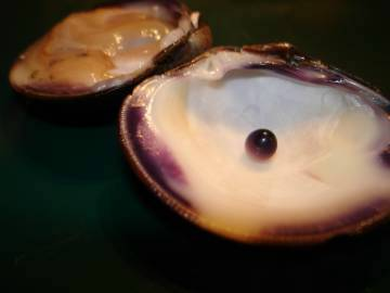 Quahog pearl on the shell