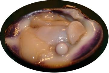 Quahog pearl white side