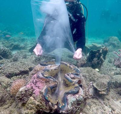 First spawning activity of the Malampaya Foundation Inc. (MFI) taken last June 1 at Das Palmas, Palawan (Malampaya Foundation Inc. Photo / MANILA BULLETIN