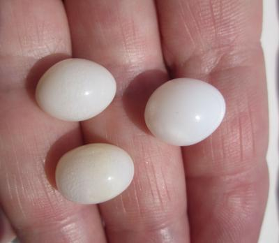 Three Exceptional Egg Shaped Clam Pearls 26+ Carats Total