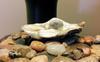 Pine Island, Florida oyster treasure found hanging on seawall.