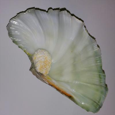 Tridacna Blister Pearl together with its Shell