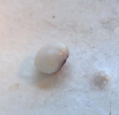 Two Toned Blue Mussel Pearl 4.5 x 3.5mm 0.5 carats