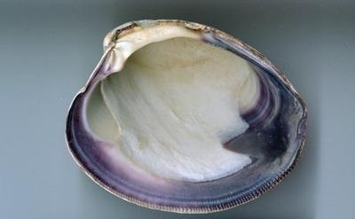 Quahog shell