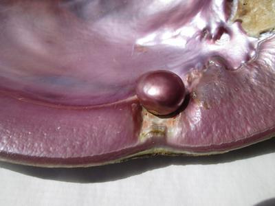 12 carat Purple USA Natural Freshwater Pearl 13mm