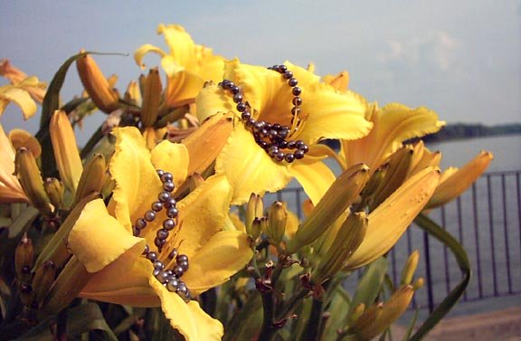 black-pearls-on-yellow-lilies-by-Mississippi-River