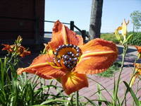 Black pearls on orange lilies