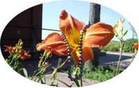 Black pearls on orange lily