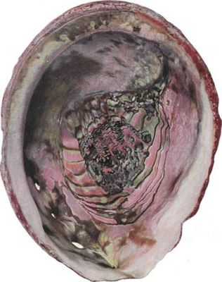 Colorful Abalone Shell