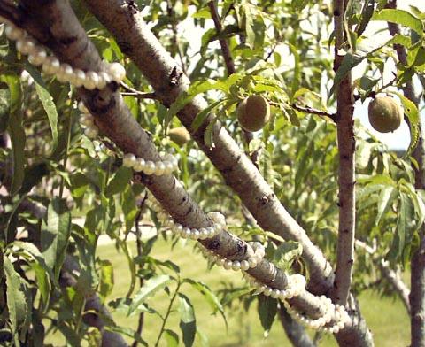 Peach Tree Pearls