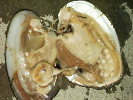 Pearl Farm Mussel Pearls Title=