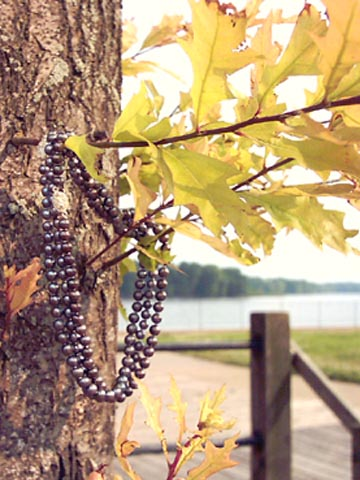 black-pearls-on-maple-by-Mississippi-River