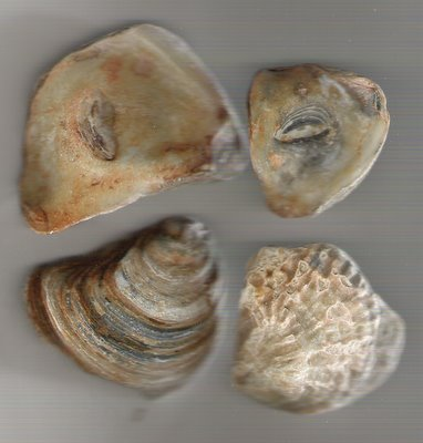 Petrified Oyster Photos Thames River