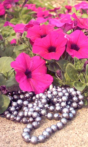 black pearls beside petunias