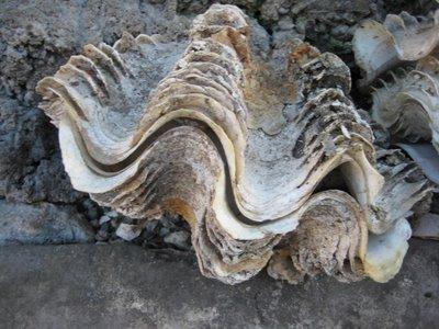 Tridacna Shell